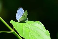 DSC_5679 dwergblauwtje, Cupido minimus, Argus frêle ou Argus minime, Zwerg-Bläuling, small blue