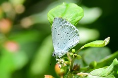 DSC_5665 dwergblauwtje, Cupido minimus, Argus frêle ou Argus minime, Zwerg-Bläuling, small blue