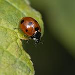 7-spot ladybird (Coccinella 7-punctata)