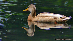 Photo of Duck