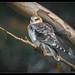 Black-shouldered Kite: Blending In