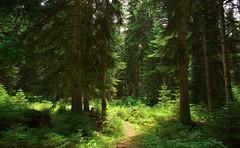 A Trail in The Pine Forest, Shovi, Racha, Georgia