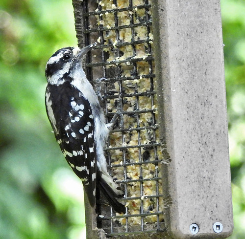 Downy Woodpecker - Irondequoit - © Candace Giles - Jul 15, 2020