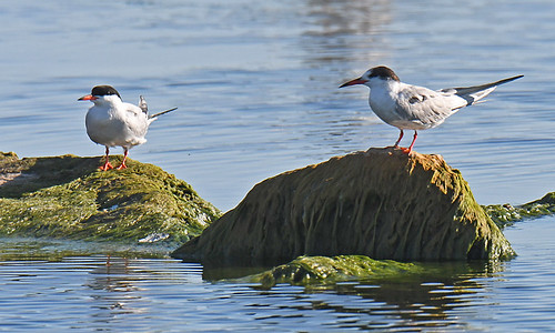 Common Tern - Braddock Bay East Spit - © Dick Horsey - Jul 15, 2020