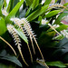 Dendrochilum Glumaceum ( Hay Scented Orchid )
