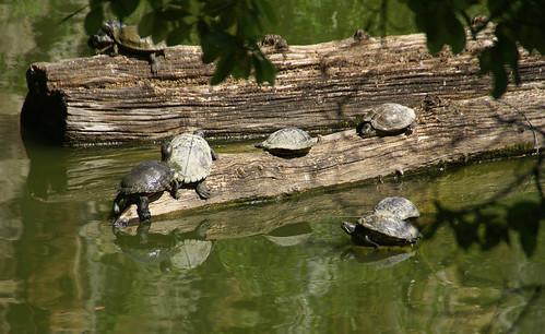 Frankfurt, Palmengarten, kleiner Weiher, Schildkröten -  small pond, turtles