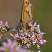 Meadow Brown
