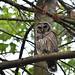 Neighborhood Owl