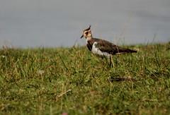 Northern lapwing (Tofsvipa)