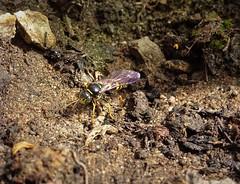 Photo of Digger wasp