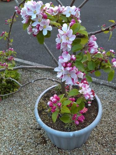 Sheila Ryan - GROWTH -apple blossoms