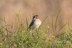 July 18, 2020 - A grasshopper sparrow singing a song. (Tony's Takes)
