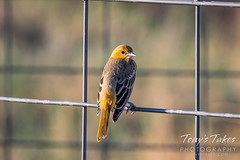 July 18, 2020 - Beautiful female Bullock's oriole. (Tony's Takes)