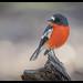 Flame Robin: Male