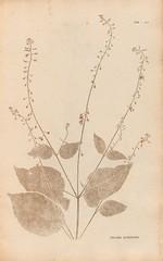 Anglų lietuvių žodynas. Žodis circaea lutetiana reiškia <li>circaea lutetiana</li> lietuviškai.