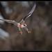 Black-shouldered Kite: Sliding In