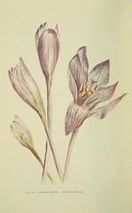 Anglų lietuvių žodynas. Žodis meadow saffron reiškia pieva šafranas lietuviškai.