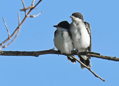Eastern Kingbird (Juv) - Braddock Bay East Spit - © Dick Horsey - Jul 20, 2020