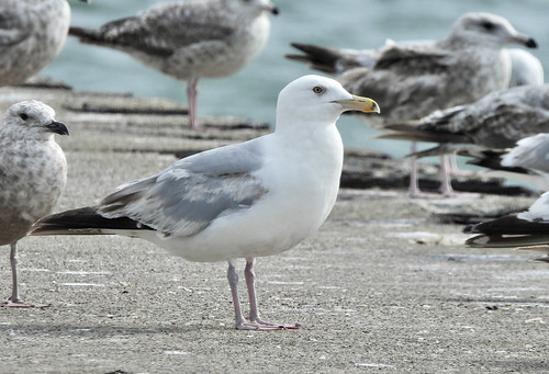 Herring Gull - Charlotte Beach - © Candace Giles - Jul 16, 2020