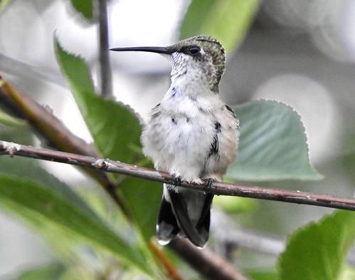 Ruby-throated Hummingbird - Irondequoit - © Eunice Thein - Jul 20, 2020
