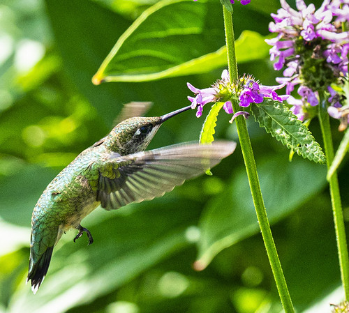 Ruby-throated Hummingbird - Irondequoit - © Clyde Comstock - Jul 18, 2020