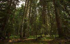 Pine Forest, Shovi, Racha, Georgia