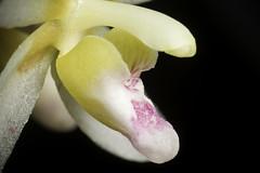 Brachypeza laotica (Seidenf.) Seidenf., Bot. Tidsskr. 68: 66 (1973)