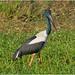 Jabiru (Black Necked Stork) (male) (Ephippiorynchus asiatica) - South Alligator River, Kakadu National Park, Northern Territory, Australia