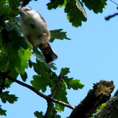 Uncooperative Eurasian nuthatch, wood nuthatch, Sitta europaea, Nötväcka