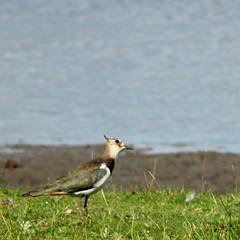 Juv. Northern lapwing, Vanellus vanellus, Tofsvipa