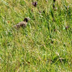 Juv. Common Starling, Sturnus vulgaris, Stare
