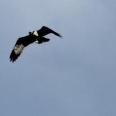Western osprey, Pandion haliaetus, Fiskgjuse