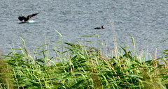 Common reed with cormorant backdrop