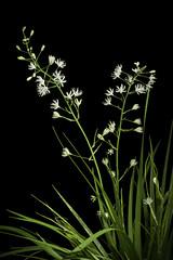 Tofieldia furusei (Hiyama) M.N.Tamura & Fuse, Taxon 60(5): 1346 (2011)