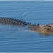 Female estaurine crocodile (3.5 metres) - South Alligator River, Kakadu National Park, Northern Territory, Australia