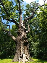 1100 years old oak tree / Дуб Максима Залізняка (Kholodny Yar, Ukraine)