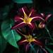 Dark daylilies