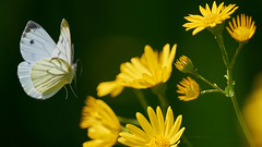 Photo of Small Green Veined White in flight