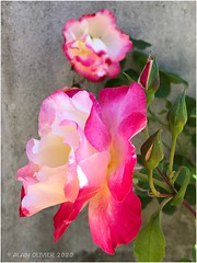 Rose du dimanche