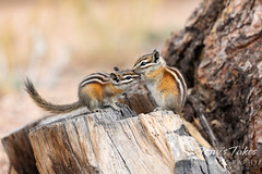 July 25, 2020 - Chipmunks snuggle. (Tony's Takes)