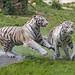 Tigresses running together