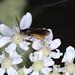 Sawfly on wild carrot