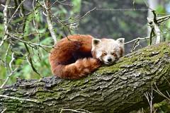 Photo of Sleeping Red Panda