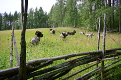 Wooden cows