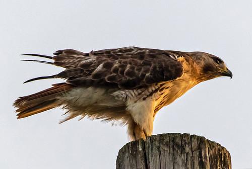 Red-tailed Hawk - Brighton - © David Laiacona - Jul 18, 2020