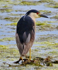July 28, 2020 - Black-crowned night heron hanging out. (Bill Hutchinson)
