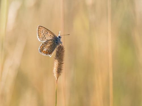 Common blue warming up