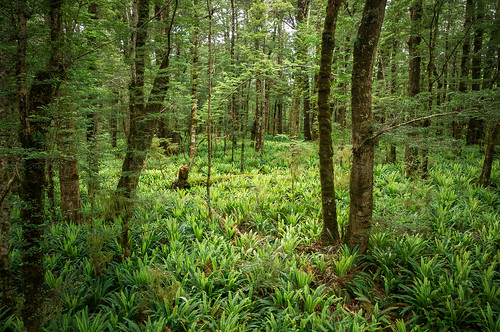 Primary Forest, Fiordland, New Zealand