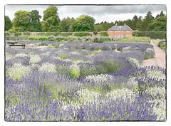 Photo of Lavender Garden