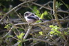 Long=tailed Tit